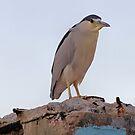 Black Crowned Night Heron by SuddenJim