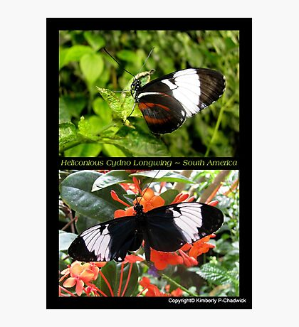 Butterfly (South America) ~ Heliconius cydno Photographic Print