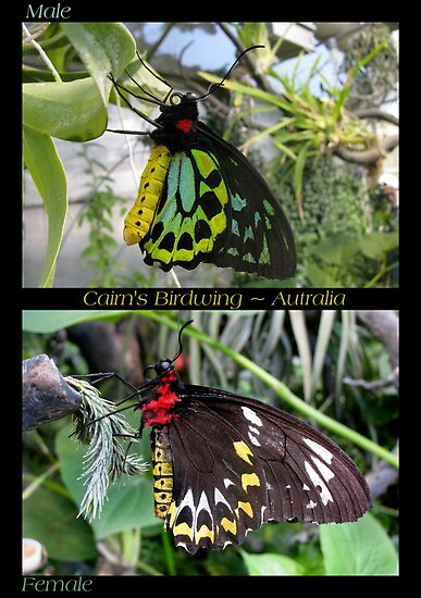 Butterfly (Australia) ~ Cairns Birdwing  ♂ & ♀ by Kimberly Chadwick