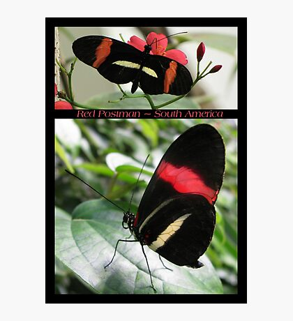 Butterfly (South America) ~ Red Postman Photographic Print