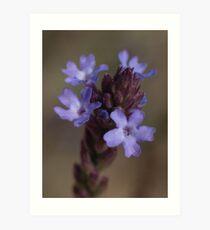 Flower details of Verbena officinalis, vervain or common verbena Art Print