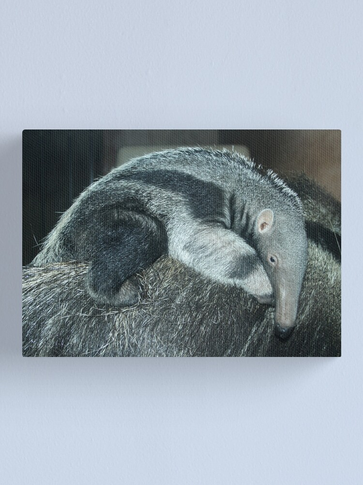 Alternate view of Portrait of a baby anteater Canvas Print