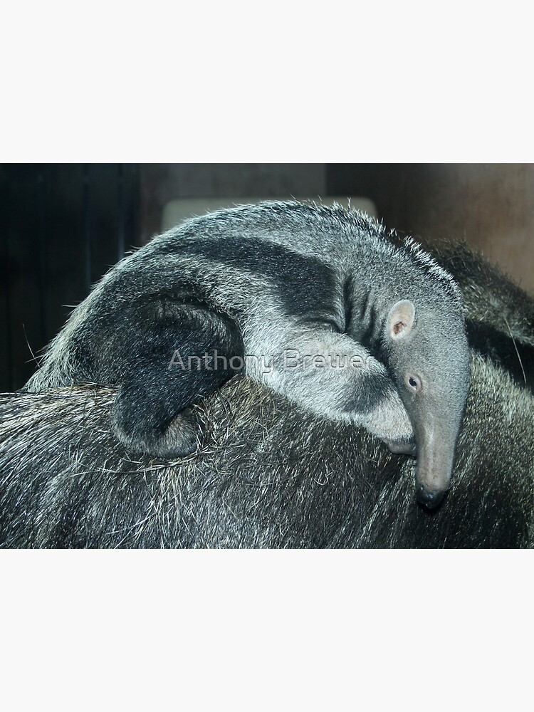Portrait of a baby anteater by dailyanimals