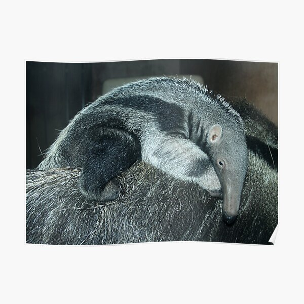 Portrait of a baby anteater Poster