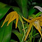Angraecum Sesquipedale Orchid by Winston D. Munnings