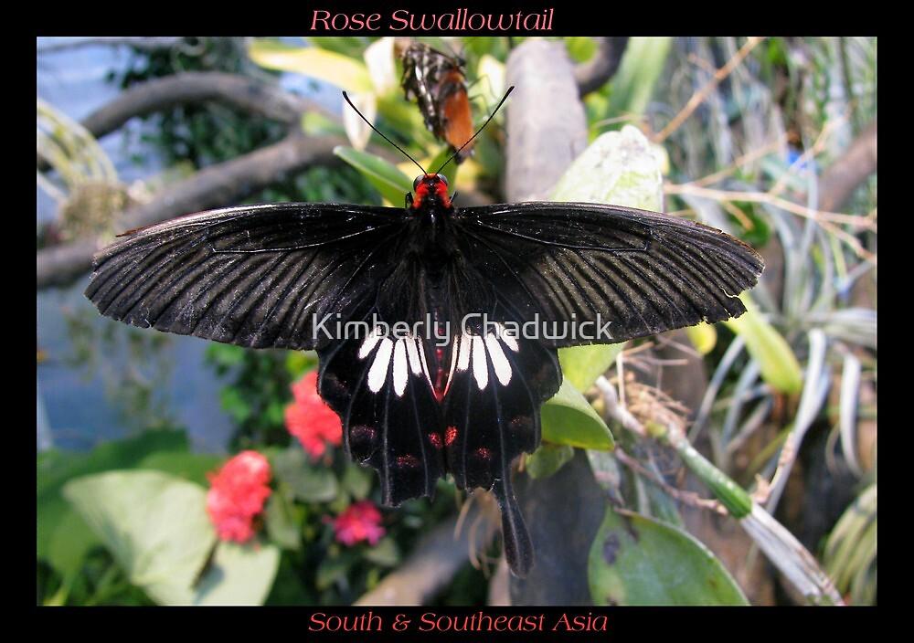 Butterfly (Asia) ~ Rose Swallowtail by Kimberly Chadwick