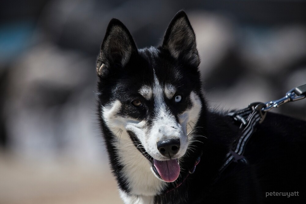 Tilly a puppy siberian husky by peter wyatt