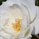 White Iceberg rose by Susan Moss