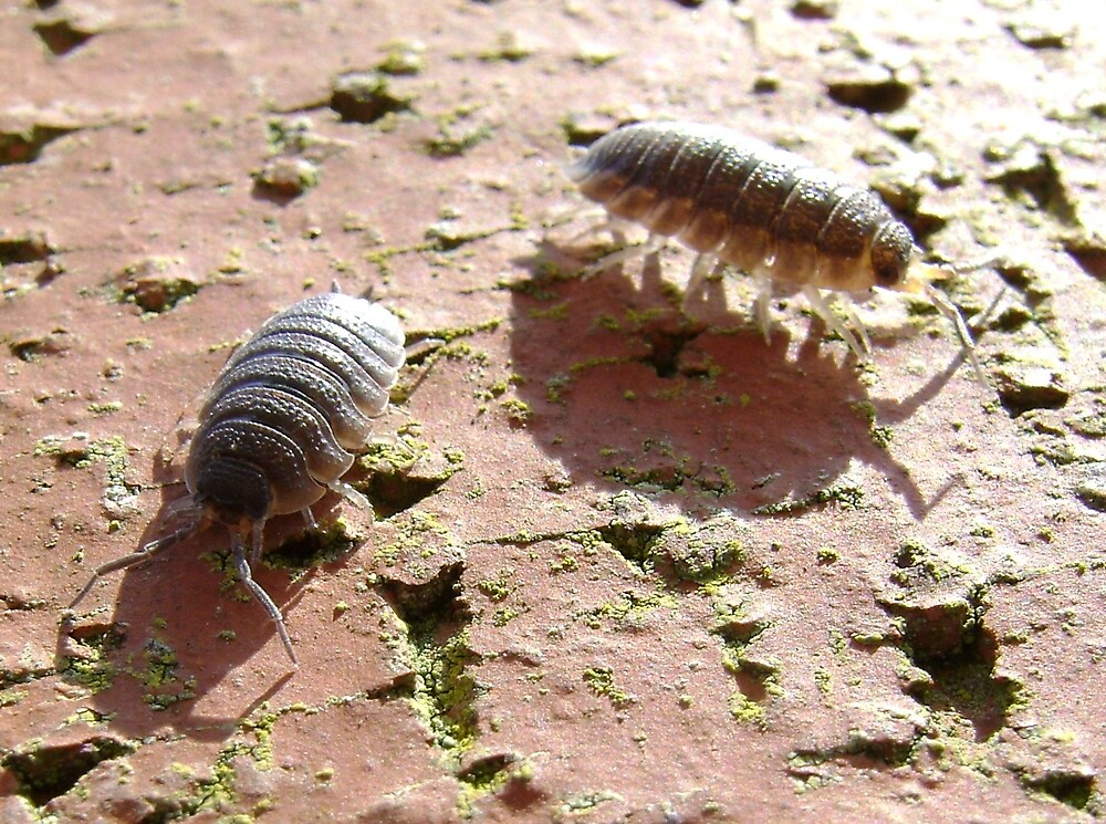 armadillo bugs (woodlice on a brick) by armadillozenith