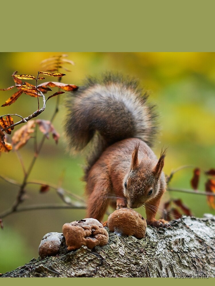 To eat or not. Eurasian red squirrel by JoukoKLehto