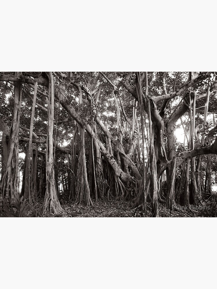 Banyan Tree with Aerial Roots by organicman2