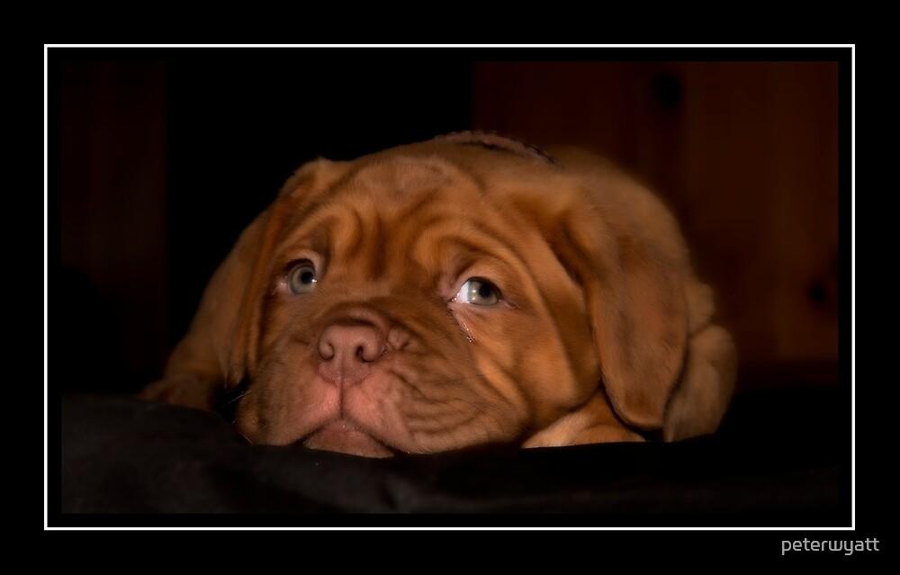 Bordeux pup by peter wyatt