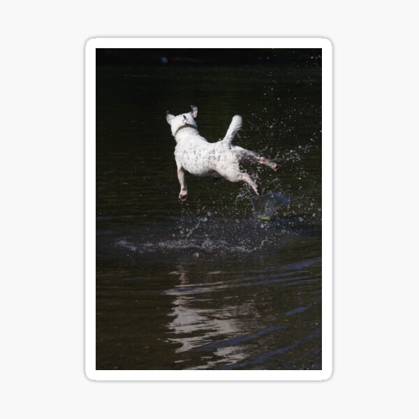 Jack Russell jumping in river Sticker