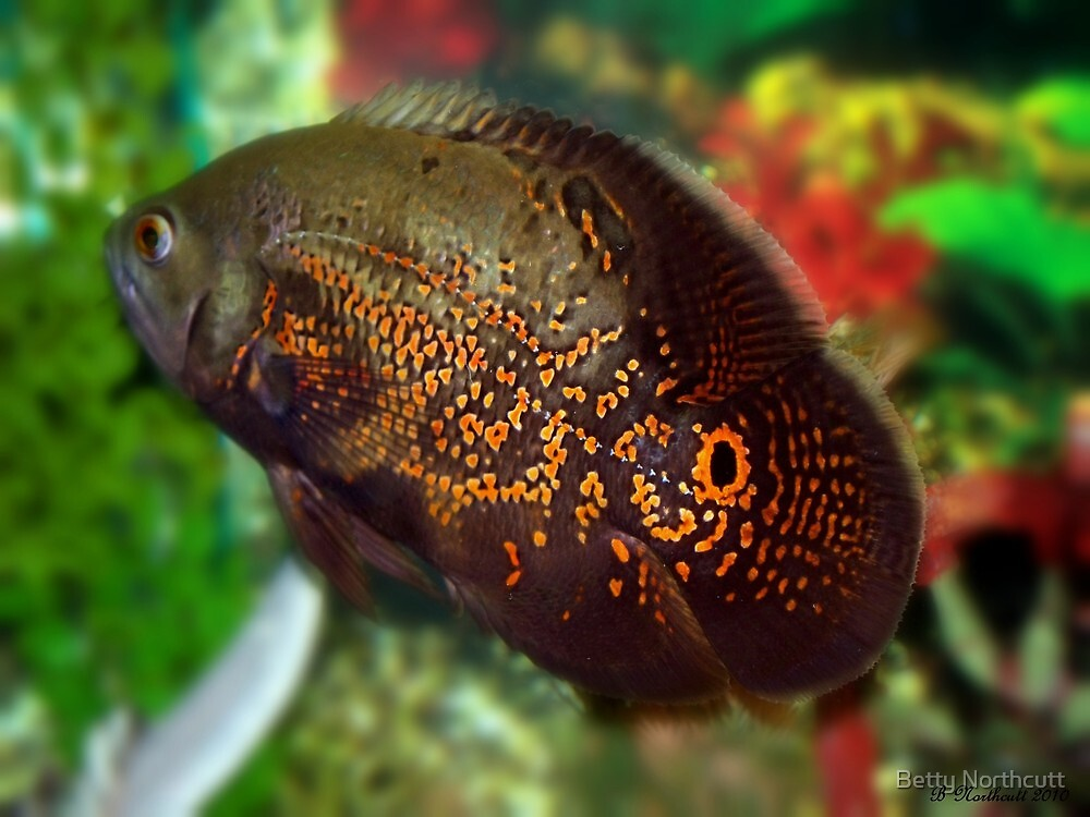 Skeeter Tiger Oscar Fish By Betty Northcutt Redbubble
