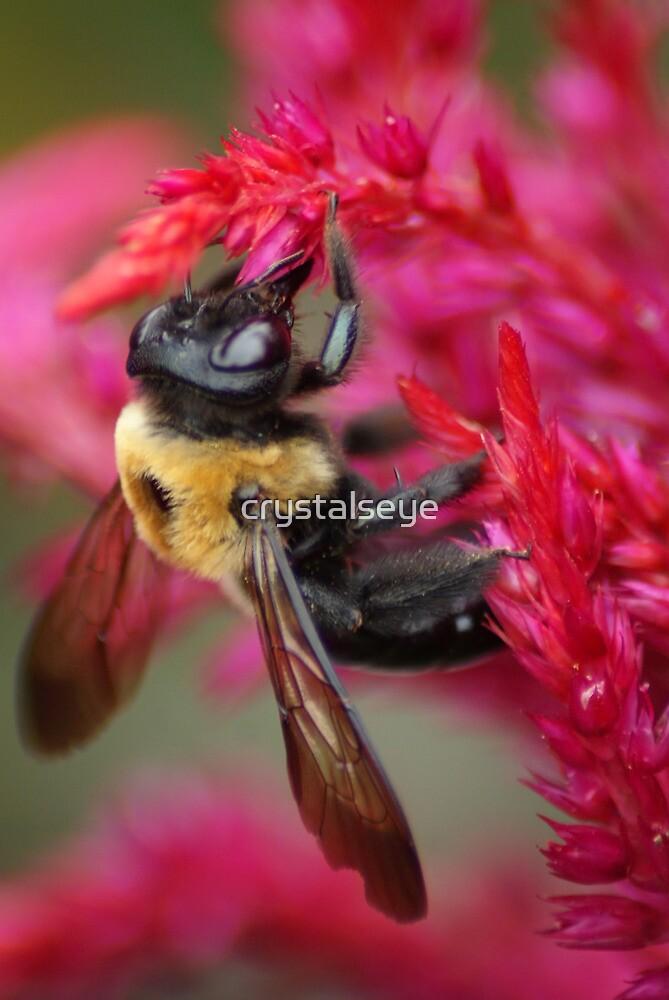 Bee on Cockscomb by crystalseye