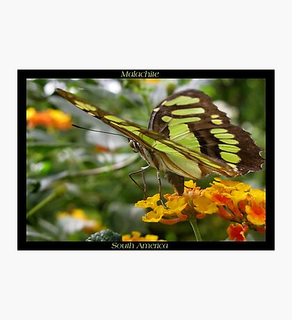 Butterfly (South America) ~ Malachite II Photographic Print