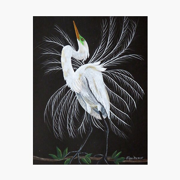 Great egret mating display Photographic Print