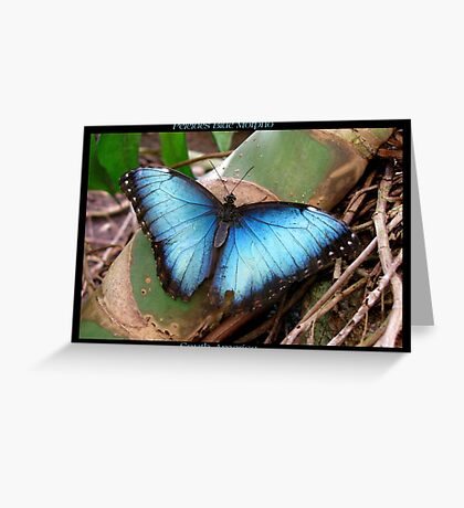 Butterfly (South America) ~ Peleides Blue Morpho II Greeting Card