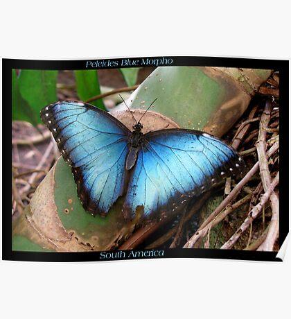 Butterfly (South America) ~ Peleides Blue Morpho II Poster