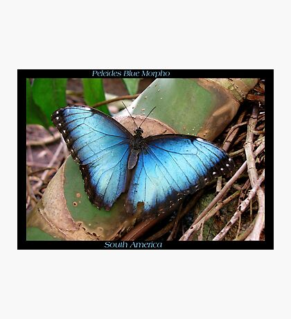 Butterfly (South America) ~ Peleides Blue Morpho II Photographic Print