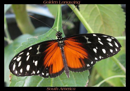 Butterfly (South America) ~ Golden Longwing II by Kimberly Chadwick
