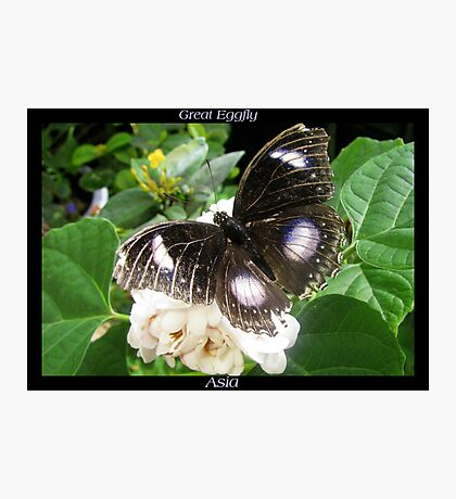 Butterfly (Asia) ~ Great Eggfly Photographic Print