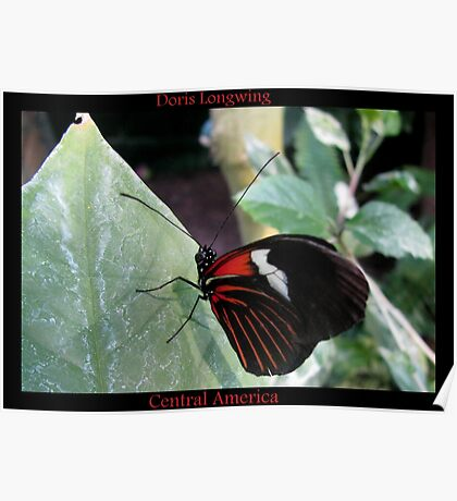 Butterfly (Central America) ~ Doris Longwing Poster
