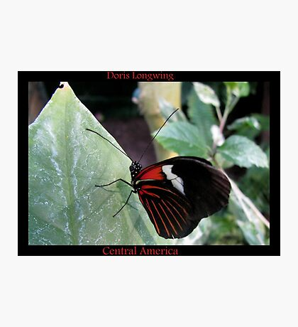 Butterfly (Central America) ~ Doris Longwing Photographic Print
