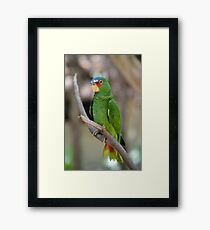 White Fronted Spectacled Amazon Parrot  Framed Print
