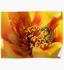 Portulaca in Orange Fading to Yellow Poster