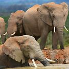 Afternoon Bath - African Elephants by naturalnomad