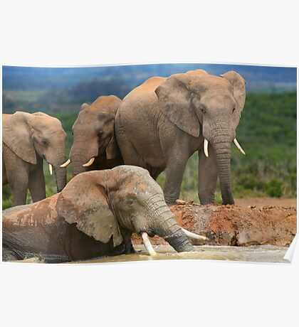 Afternoon Bath - African Elephants Poster