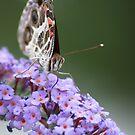 Beautiful Butterfly on Butterfly Bush by kremphoto