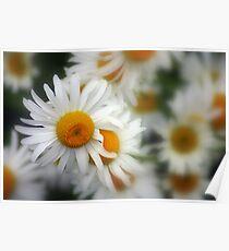 Love me, Love me not macro mini daisies Poster