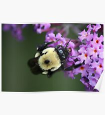 Buzzy Busy Bumble Bee Macro Poster