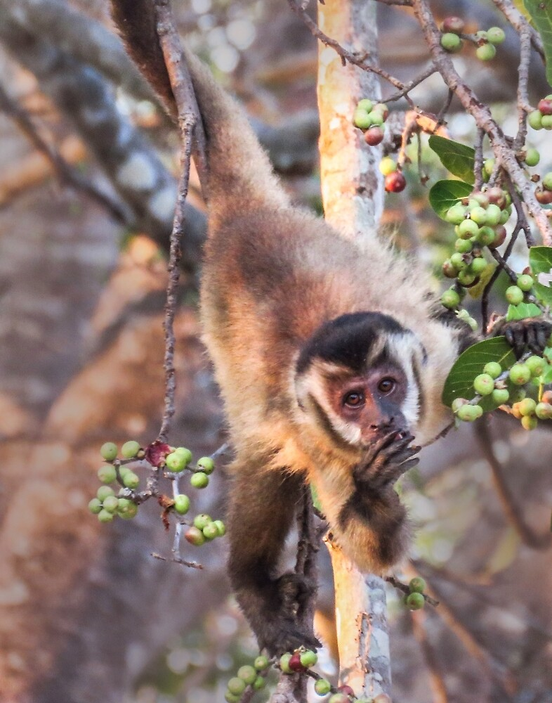 Fig loving Capuchin monkey by Linda Sparks