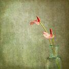 little Anthurium ... by BertaDrost
