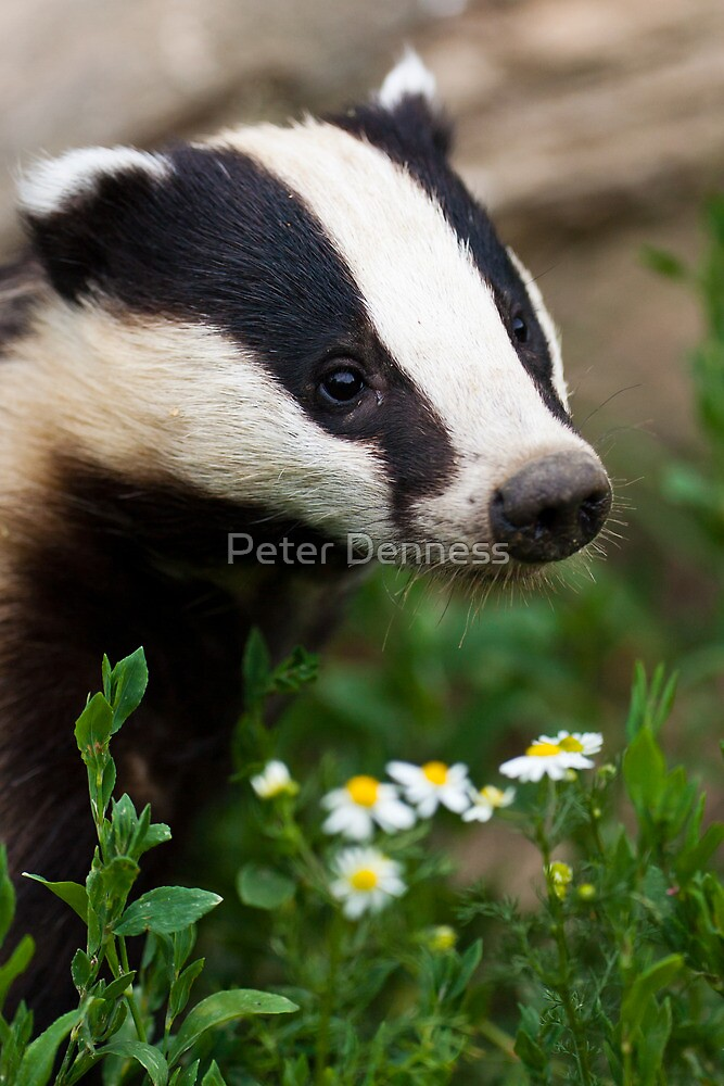 Badger Portrait by Peter Denness