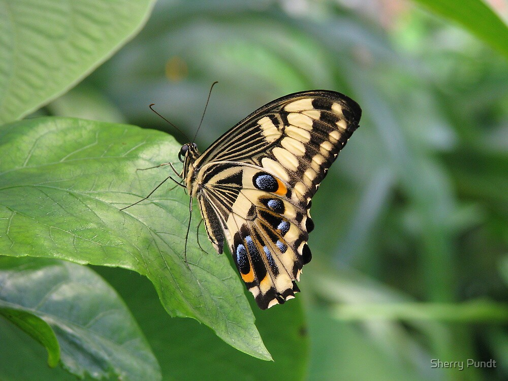 Emperor Swallowtail by Sherry Pundt
