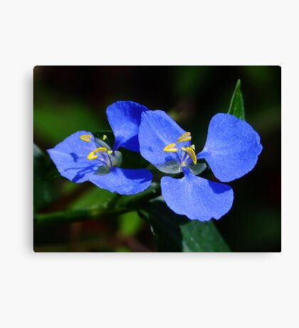 Pretty Cobalt Blue! Canvas Print