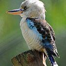 Blue Winged Kookaburra. North Queensland, Australia. by Ralph de Zilva