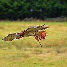 Leah ~ Red-Tailed Hawk by Sandra Cockayne