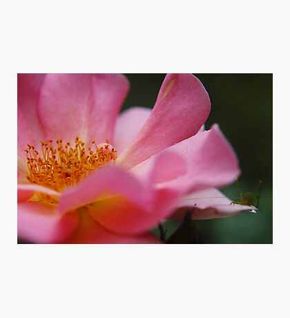 Perfect Pink Photographic Print