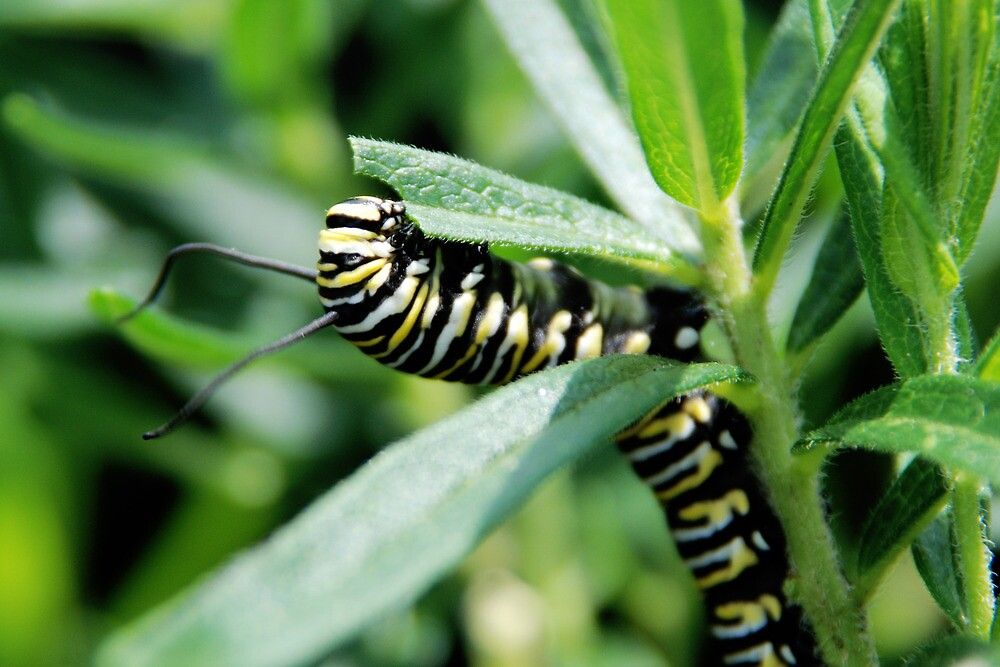 Oh, to be a Monarch! by Dawn Griffith