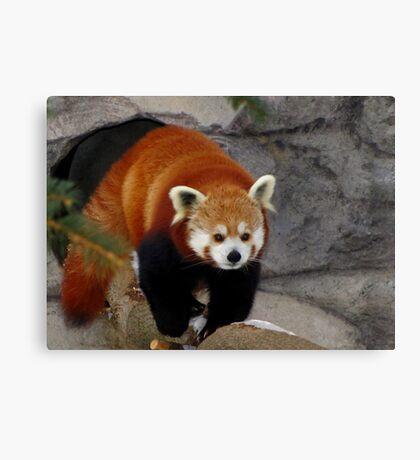 Red Panda Leaving His Den Canvas Print