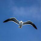 Gull in the sky by Mathieu Longvert