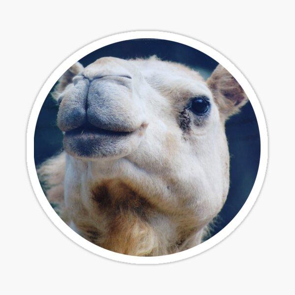 Camel Kisses Sticker