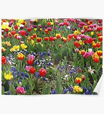 A riot of colour - spring flowers in bloom  Poster