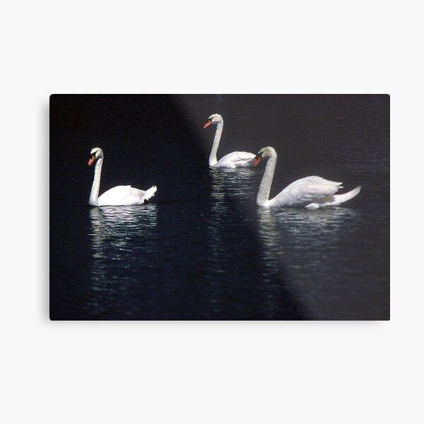 Three White Swans Metal Print