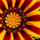 Red & Yellow Gazania by Eve Parry